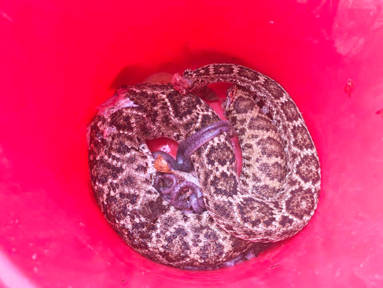 Local woman finds 15 rattlesnakes in her yard!